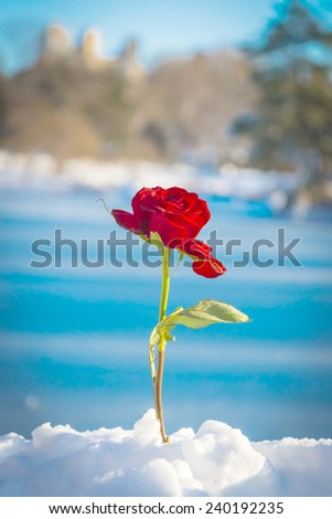 Red rose with single leaf standing up in snow in Manhattan's Central Park in New York City - stock photo