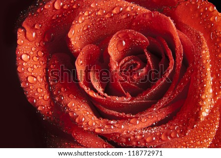 red rose with water drop - stock photo