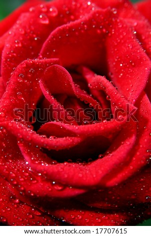 Red rose with water droplets.Close-up with shallow dof - stock photo