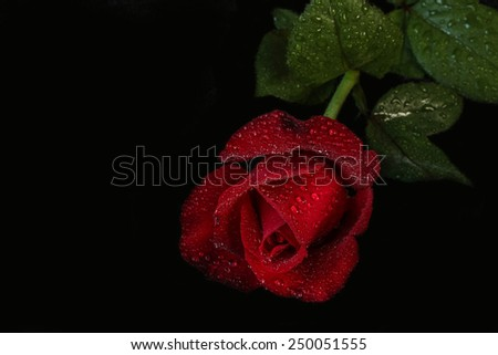 red rose with water drops - black background