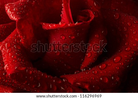 Red rose with water drops. Close up. - stock photo
