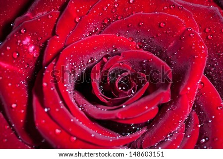 Red rose with water drops. Macro shot with shallow depth of field. - stock photo