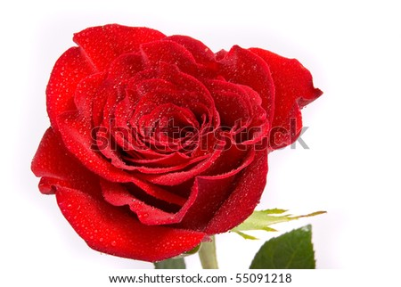 Red rose with water drops on a studio white background.