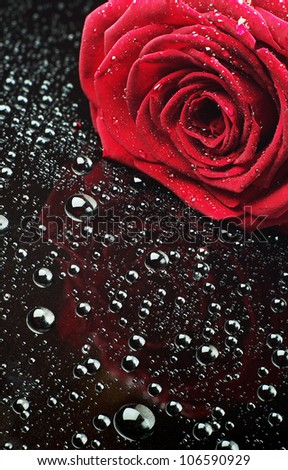 Red rose with water drops on black