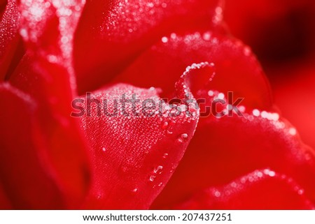 red rose with water drops on petals, beautiful floral background, selective focus and shallow depth of field   - stock photo