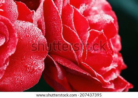 red rose with water drops on petals, beautiful floral background, selective focus, shallow depth of field   - stock photo