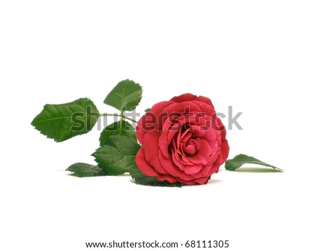 red rose with water drops on the white background