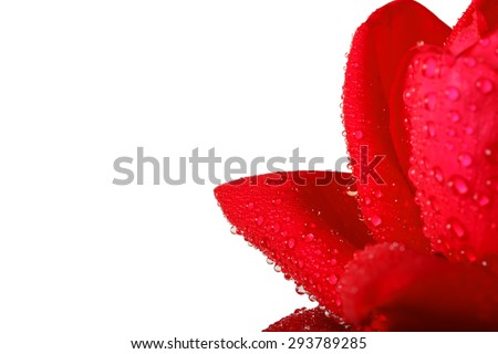 Red rose with water drops on white background