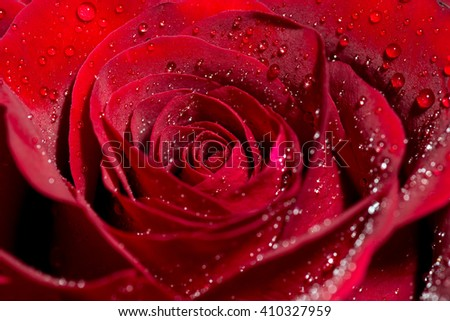 red Rose with water drops / rose and water drops