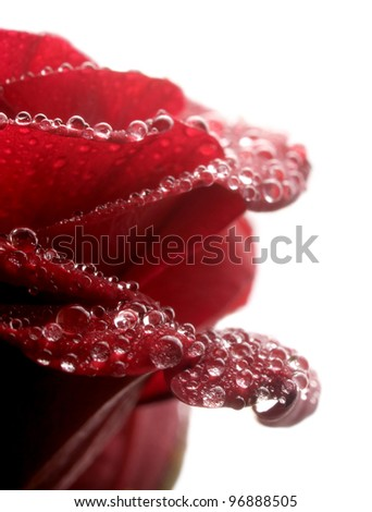 Red rose with waterdrops closeup on white background. - stock photo