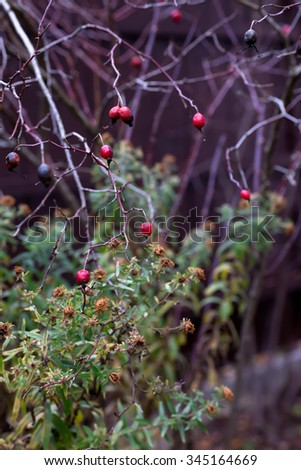 red rosehips - stock photo