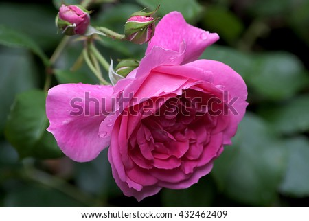 Red roses after the rain - stock photo
