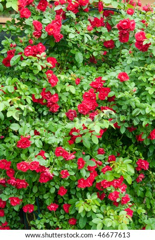 Red roses background. - stock photo