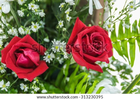 Red roses close up. Background. - stock photo