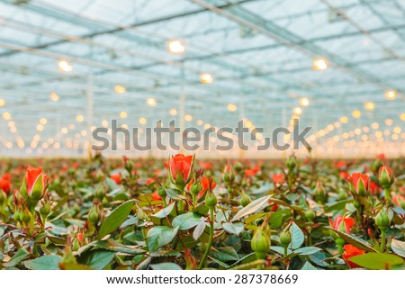Red roses growing inside a greenhouse in The Netherlands - stock photo