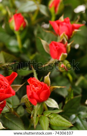 Red roses in a pot - stock photo