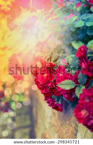 Red roses in sunlight on autumn garden or park. Nature background. - stock photo