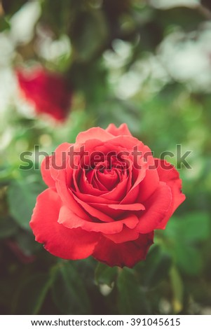 red roses in the garden ,  vintage tone