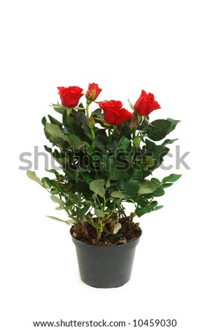 Red roses in the pot isolated on white
