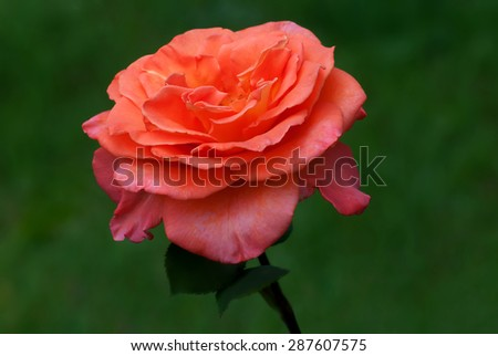 Red roses isolated from green background - stock photo