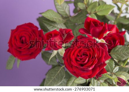 Red roses on a purple background