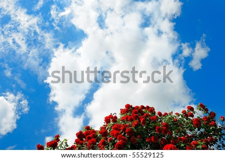 red roses on sunny sky - stock photo
