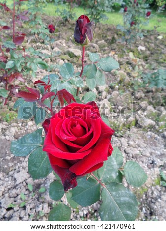 Red roses on the flowerbed in the garden