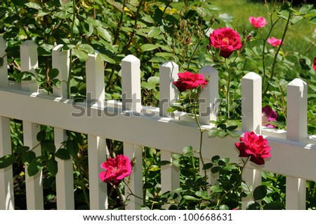 Red Roses on White Fence - stock photo