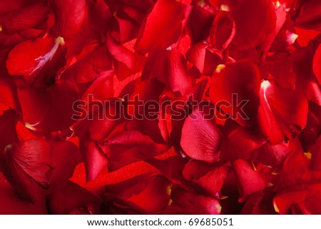 Red roses petals Valentine's Day - stock photo