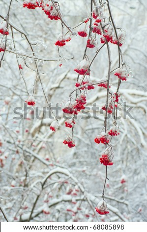 Red rowan tree in winter forest - stock photo