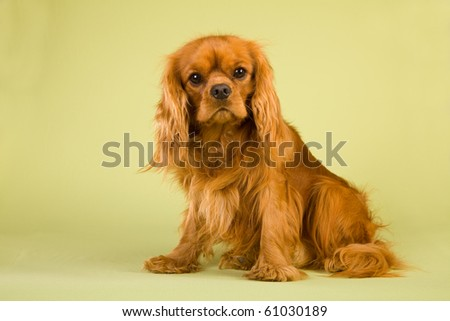 Red ruby CKC spaniel on green background - stock photo