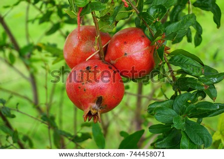 Red ruby pomegranate fruit and green leaf texture and background