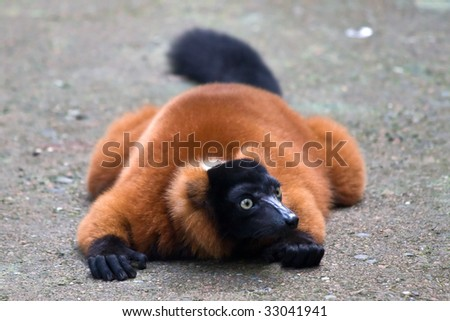 Red Ruffed Lemur in the Zurich Zoo