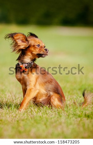 red russian toy dog in a fancy collar - stock photo