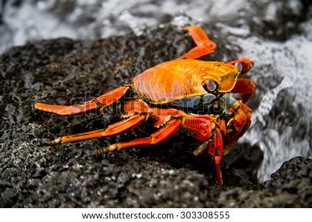 Red sally light foot crab on a rock Galapagos Islands, Ecuador - stock photo