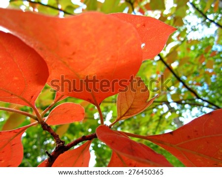 Red Sassafras Leaves Photo taken at Miami Whitewater Forest, a Great Park of Cincinnati and Hamilton County. - stock photo