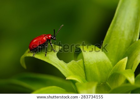 Red Scarlet lily Beetle on Plant. Lilioceris lilii. Pest - stock photo