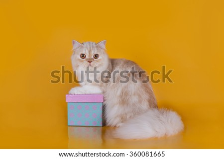 Red scottish straight cat on orange background - stock photo