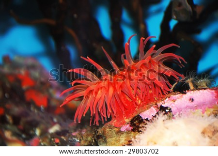 Red sea anemone attached to a  rock under water.