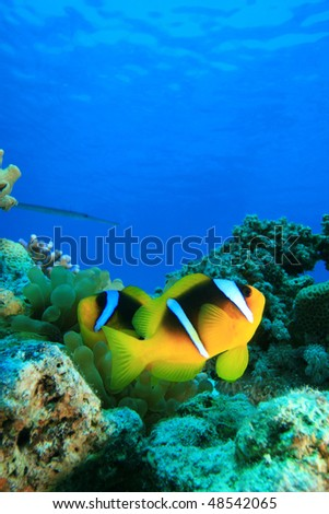 Red Sea Anemonefish - stock photo
