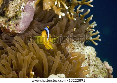 Red sea anemonefish (Amphipiron bicinctus) and bubble anemone - stock photo