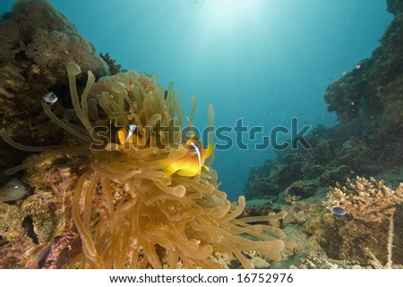 Red sea anemonefish (Amphipiron bicinctus) and bubble anemone