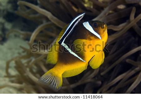 Red sea anemonefish (Amphipiron bicinctus) getting cleaned by a cleaner mimic (aspidontus taeniatus) - stock photo