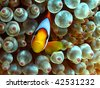 Red Sea Anemonefish (amphiprion bicinctus) - stock photo