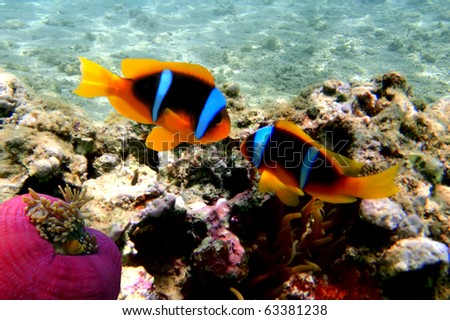 Red Sea Anemonefish (amphiprion bicinctus) - stock photo