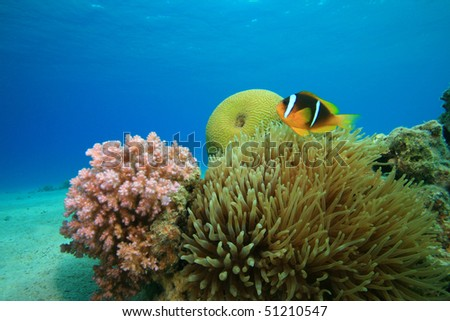 Red Sea Anemonefish and Bubble Anemone on shallow reef - stock photo