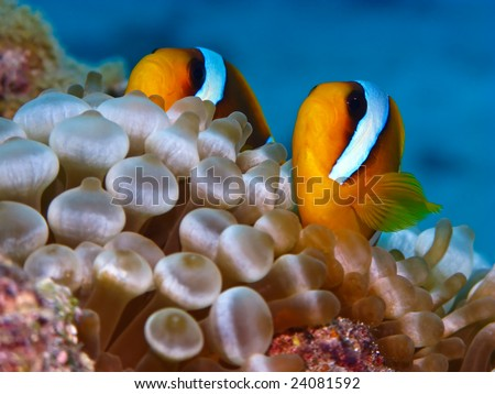 Red sea anemonefish in bubble anemone. Close up.
