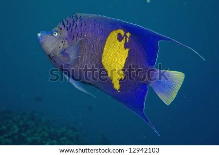 Red Sea Angelfish (Pomacanthus maculosus) - stock photo
