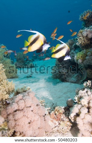 Red sea bannerfish (heniochus intermedius) over a coral reef. Red Sea, Egypt