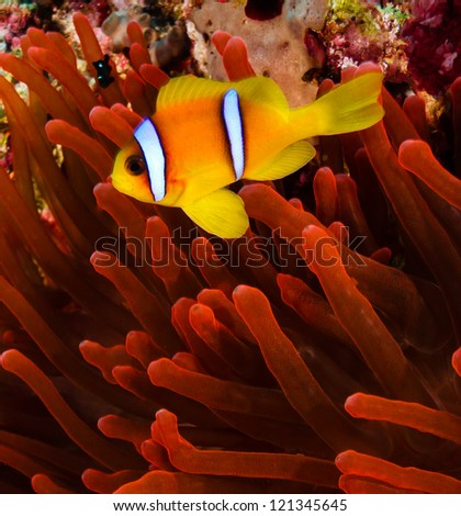 Red sea Clownfish (Anemonefish) next to a vivid red anemone on a coral reef - stock photo